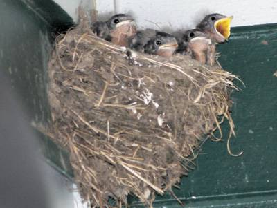 b2ap3_thumbnail_barn-swallow-nest.jpg