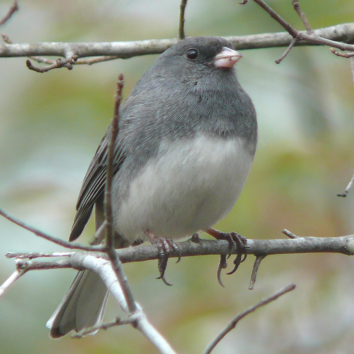 The Dark-eyed Juncos are Back!