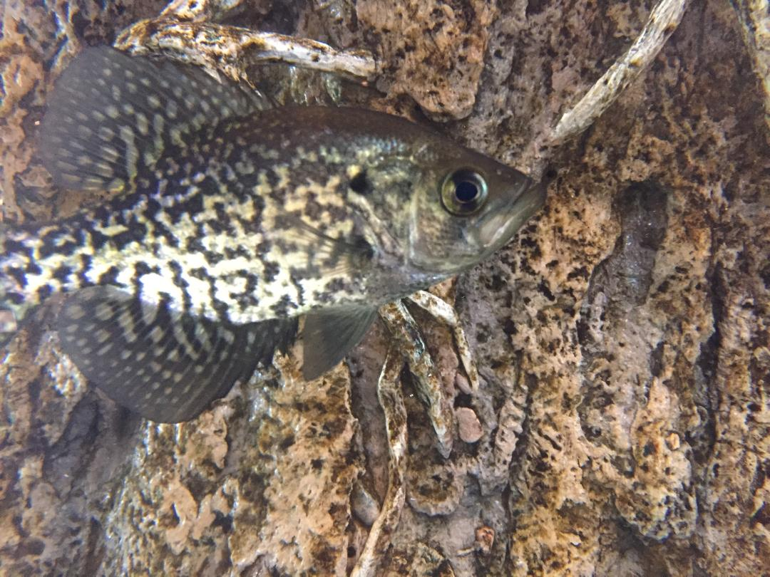 Meet our Black Crappie