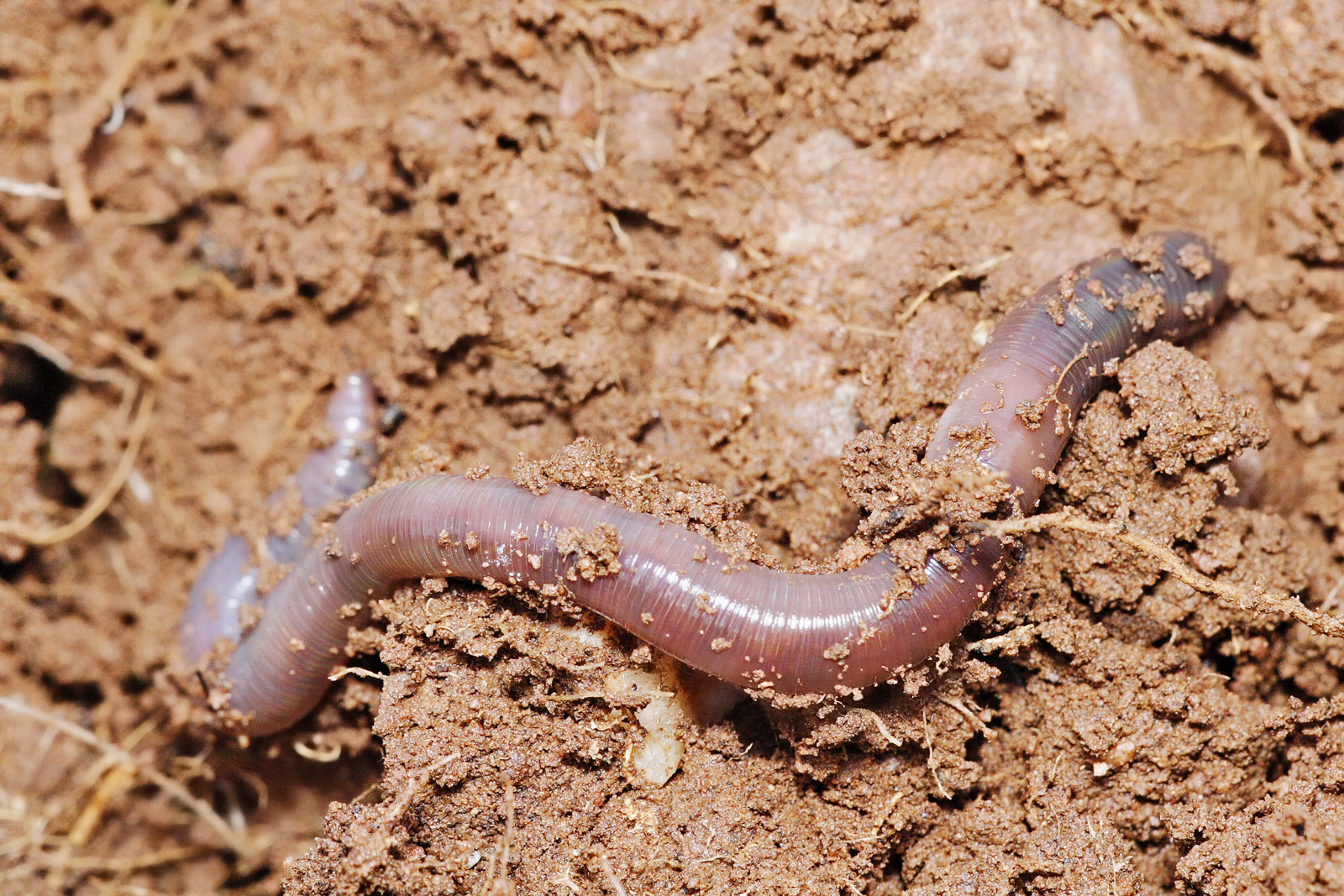 The Newest Invasive Species is a Worm