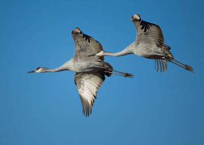 b2ap3_thumbnail_Grus_canadensis_-Bosque_del_Apache_National_Wildlife_Refuge_New_Mexico_USA_-flying-8a_1.jpg